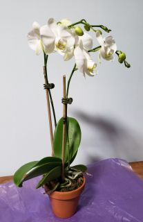 Small White Orchid- yellow face
