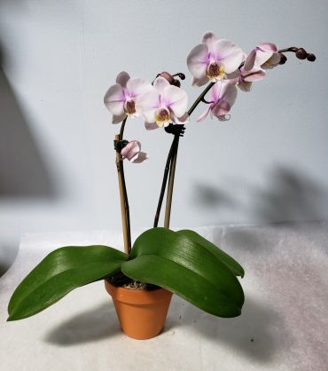 Small Light Purple Orchid