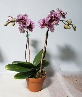 Sassy Striped Orchid- Large