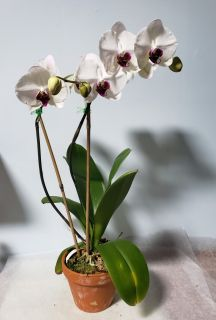 Purple Face Orchid- Large