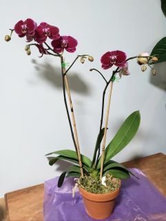 Large Purple Orchid