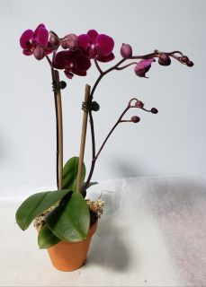 Small Dark Purple Orchid